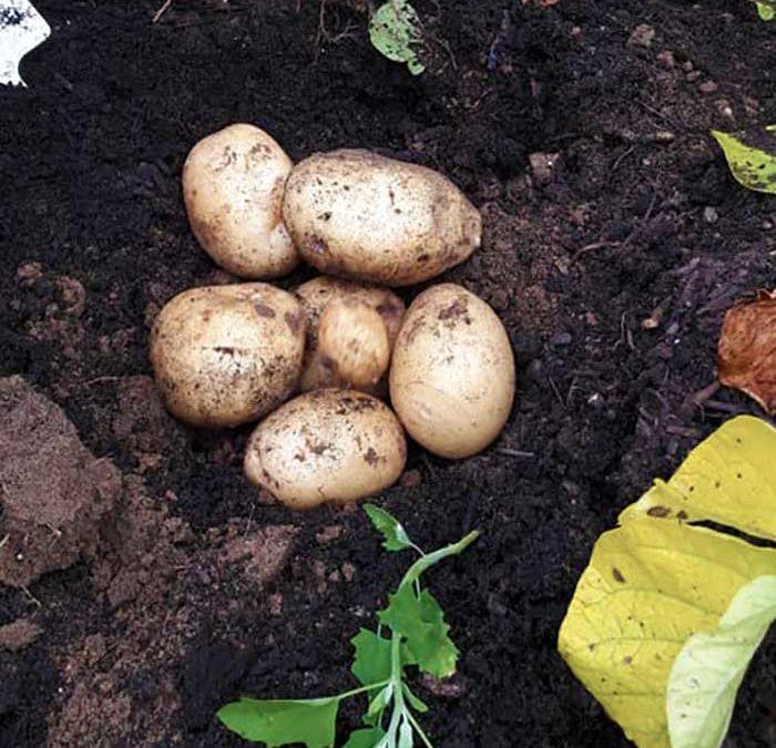 Eerste maaltje nieuwe aardappels uit de wijkatelier Lindenholt